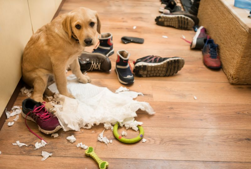 A Golden Retriever sits amidst the carnage of chewed up shoes, toys, and tissue.